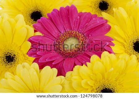 Close up image of pink daisy surrounded by  yellow daisies