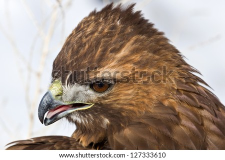 "Close up image of  Red-tailed Hawk (Buteo jamaicensis) perched on  tree stump. The Red-tailed Hawk is a bird of prey, colloquially known in the US as the ""chickenhawk,"" but it rarely preys on chickens - stock photo"