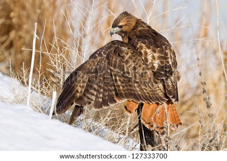 "Close up image of  Red-tailed Hawk (Buteo jamaicensis) perched on  tree stump. The Red-tailed Hawk is a bird of prey, colloquially known in the US as the ""chickenhawk,"" but it rarely preys on chickens"