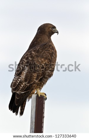 "Close up image of  Red-tailed Hawk (Buteo jamaicensis). The Red-tailed Hawk is a bird of prey, colloquially known in the USA as the ""chickenhawk,"" though it rarely preys on chickens. - stock photo"