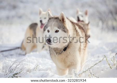 Close up image of Siberian huskies playing in the snow near Matroosberg in South Africa in the winter. - stock photo