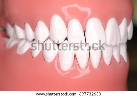 Close up image of teeth from a phantom head. Dentistry, medical and education conceptual.