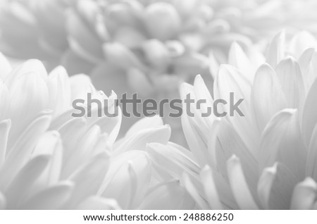 Close Up Image of the Beautiful Chrysanthemum Flower on the White Background. Black and White - stock photo