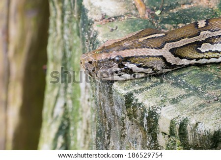 Close up image of the brown snake