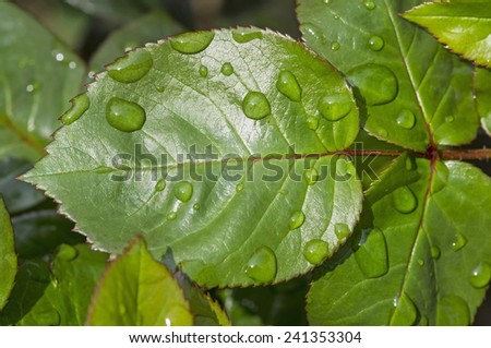 Close up image of water drops on a rose leaf. - stock photo