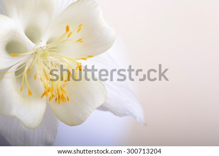 Close up image of white tulip on black - stock photo