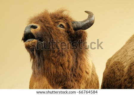Close up image of wild bison - stock photo