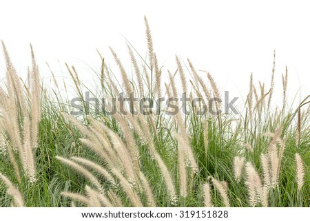 Close up Imperata cylindrica Beauv of Feather grass on white