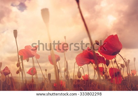 Close up in poppy field and sun - stock photo