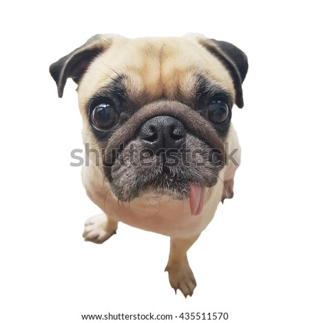 close-up isolated  face cute pug dog puppy with tongue sticking out look camera in wonder and big head shot - stock photo