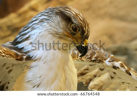 Close up isolated iamge of hawk
