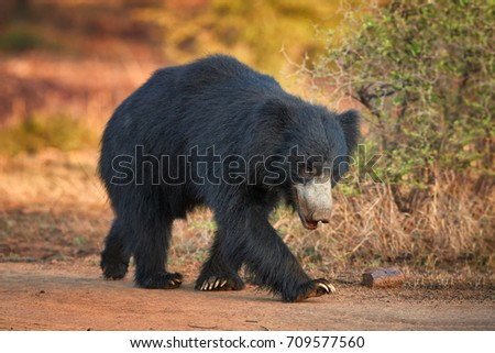 Close up, isolated, wild sloth bear, Melursus ursinus, on dusty road in Ranthambore national park, India. Insect eating bear with long claws walking along the camera, wildlife photography.