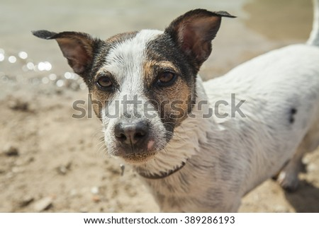 Close up jack russell terrier posing in the river
