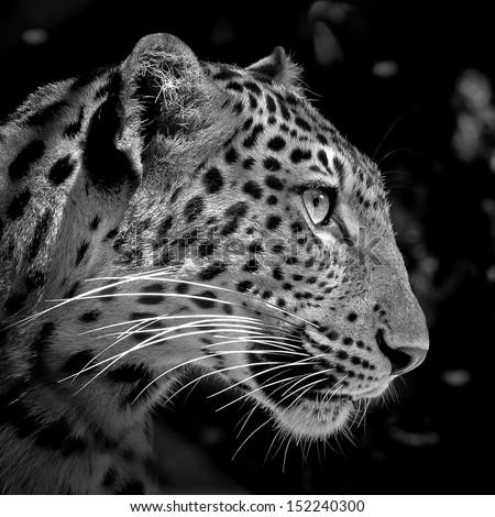 Close up Jaguar face, isolated on black background - stock photo