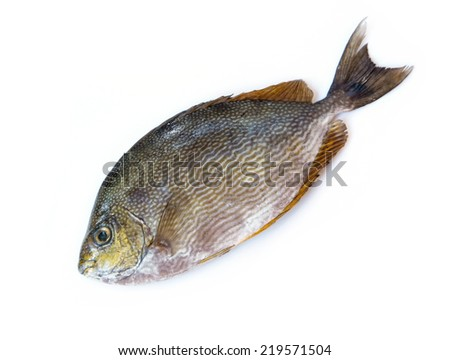 Close up Java rabbitfish, Bluespotted spinefish or Streaked spinefoot fish on a white background - stock photo