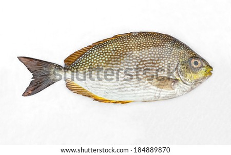 Close up Java rabbitfish - Bluespotted spinefish or Streaked spinefoot fish on white wet cloth in market with morning sunlight - stock photo