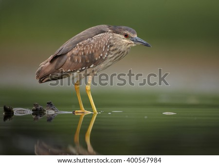 Close up, juvenile water bird Black-crowned Night Heron, Nycticorax nycticorax, standing in the shallow water, against blurred background. Photographed from water level.   - stock photo