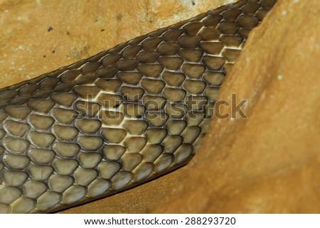 close up king cobra snake skin - stock photo