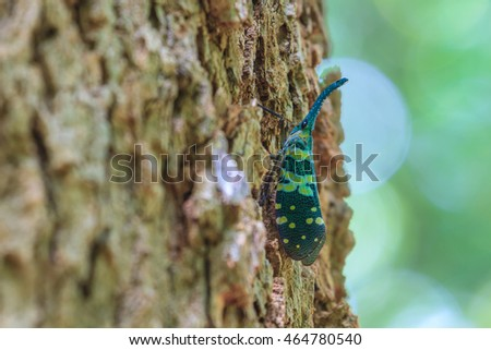 close up Lanternflies on tree in tropical forest (Pyrops candelarius)