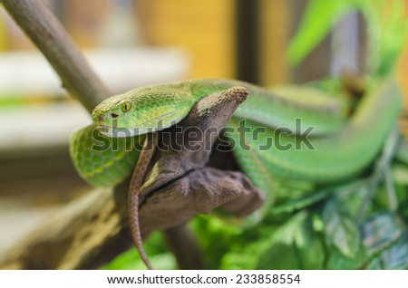 Close up Large-eyed Green Pitviper (Trimeresurus macrops) species endemic to Southeast Asia - stock photo