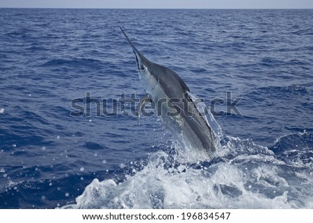 Close up launching marlin