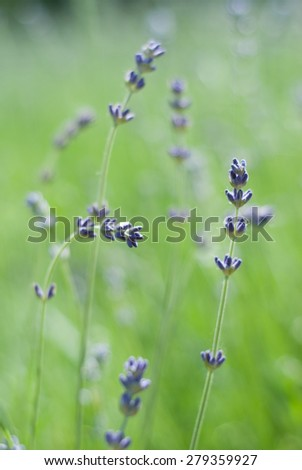 Close up lavender flower in a field