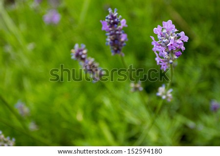 Close-up lavender flowers (shallow DOF) - stock photo