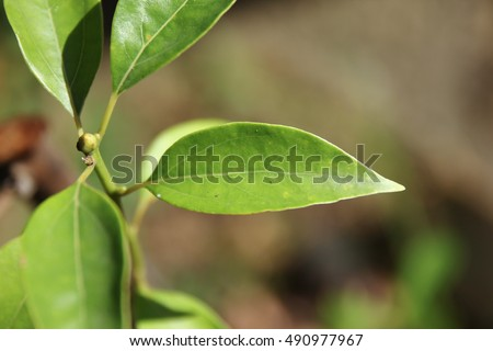 Close up Leaf of Cinnamomum camphora tree
