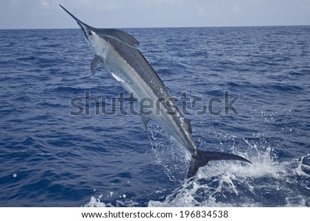 Close up leaping marlin - stock photo