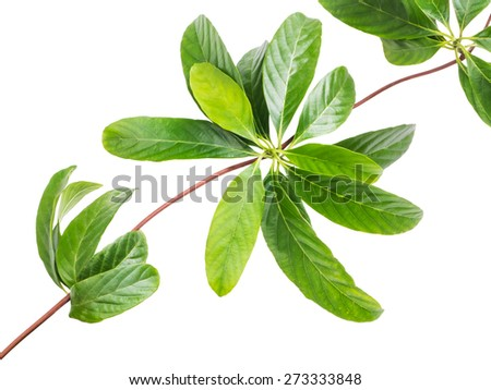 Close up leaves of creeper plant isolated on white background - stock photo