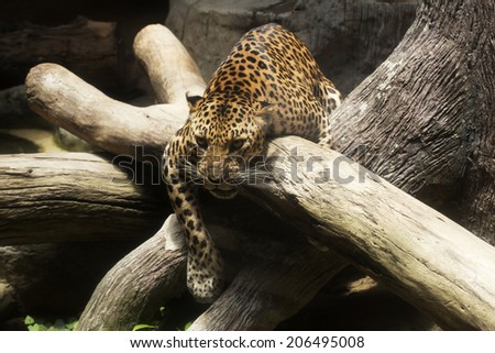 close up Leopard angry and asleep on the tree  - stock photo