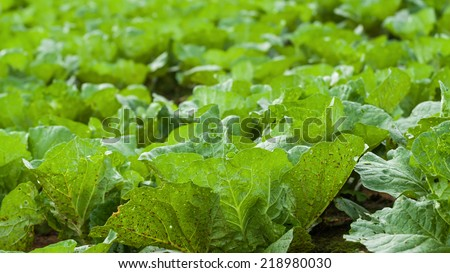 close up Lettuce seedlings field in Thailand - stock photo