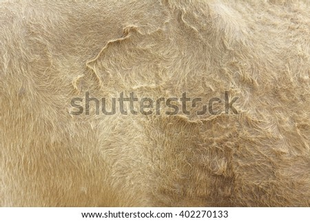 close up light brown cow fur for background or abstract work
