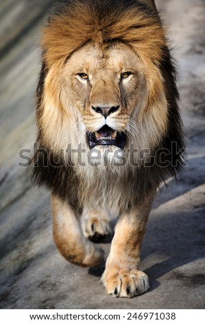 Close-up lion - stock photo
