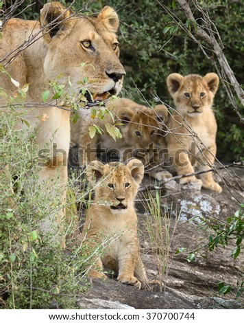 Close-up lion in National park of Kenya, Africa - stock photo