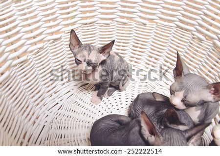 Close up Little Gray Sphynx Kittens Resting Inside a Wooden Basket - stock photo
