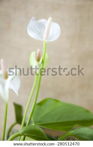 close up little white anthurium flower - stock photo