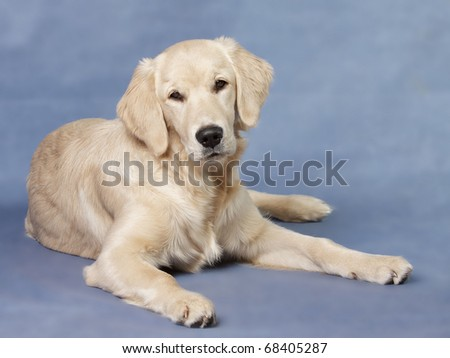 Close up look - puppy golden retriever - stock photo