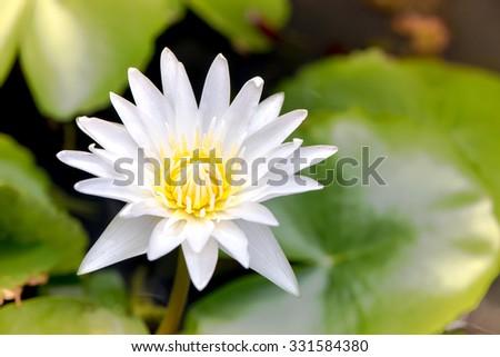 close up lotus flower - stock photo