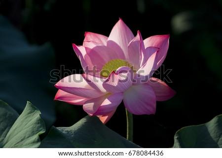 Closeup Lotus Flower Background Lotus Symbol Stock Photo Edit Now