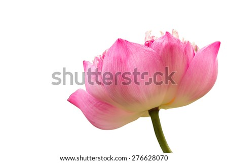 Close-up Lotus isolate on white with clipping path. - stock photo