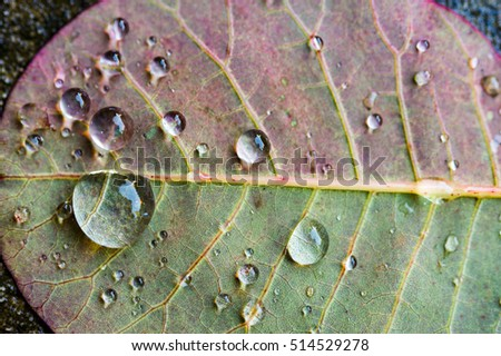 Close up macro abstract of underside of green and purple smoke bush leaf with water droplets showing leaf veins, midrib and blade and small netted veins vascular bundles