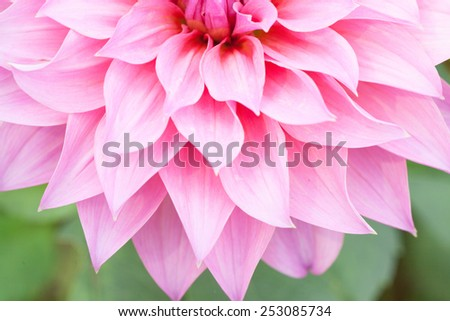 Close up macro beautiful half pink flower  - stock photo