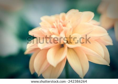 Close up macro beautiful light yellow flower, pastel  - stock photo
