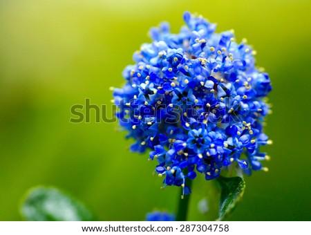 Close-up macro blue flower - stock photo