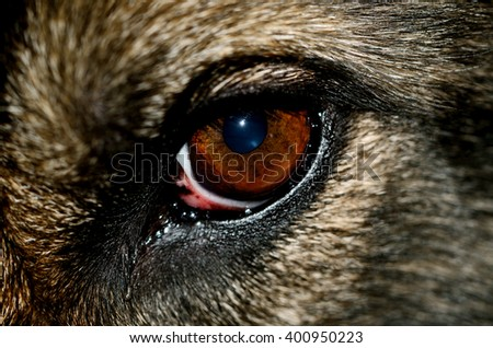 Close-up macro detail of Alsatian dog eye. German shepherd brown eye.