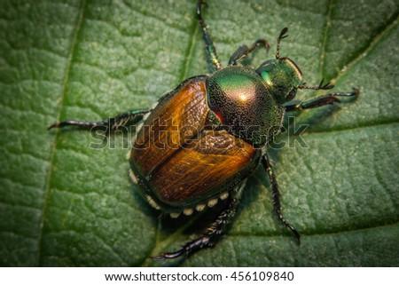 Close up macro green Japanese beetle on green leaf - stock photo