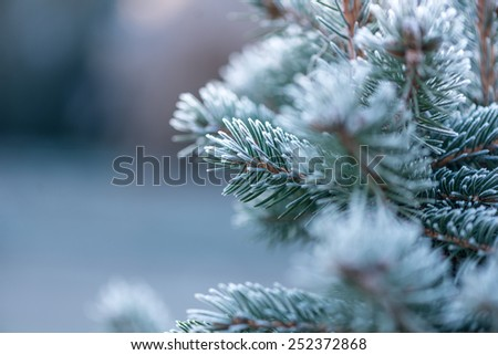 Close up (macro) of a Coniferous covered with hoarfrost early in the morning. Selective focus, narrow depth of field with cooler tones. - stock photo