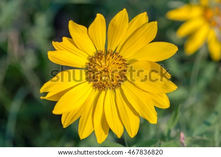 Close-up macro of arrowleaf balsamroot flower in the Cascade Mountains, Washington, US