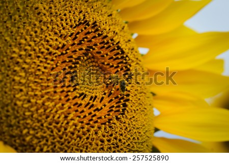 close up macro of beautiful yellow sunflowers in countryside field - stock photo